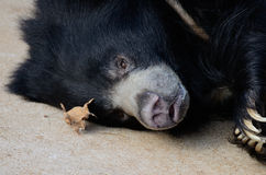 Sloth bear and leaf Royalty Free Stock Photos