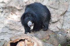 Sloth bear on log Royalty Free Stock Image