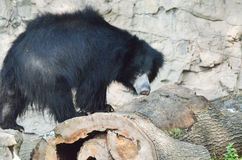 Sloth bear on log 2 Stock Photos