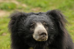 Sloth bear  (Melursus ursinus) Royalty Free Stock Image
