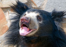 Sloth Bear (Melursus ursinus) Stock Photo