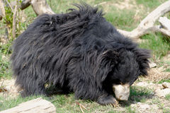 Sloth bear Royalty Free Stock Photos