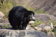 Sloth Bear, Melursus Ursinus. Daroji Bear Sanctuary, Ballari district, Karnataka. India Royalty Free Stock Photo