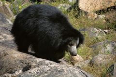 Sloth Bear, Melursus Ursinus. Daroji Bear Sanctuary, Ballari district, Karnataka. India Stock Photos