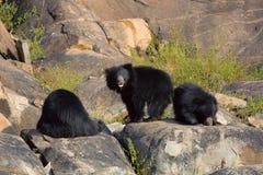 Sloth Bear, Melursus Ursinus. Daroji Bear Sanctuary, Ballari district, Karnataka. India Stock Photo