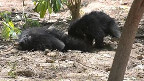 Sloth Bear Cubs or Babies Playing in the forest
