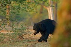 Sloth bear, Melursus ursinus, Ranthambore National Park, India. Wild Sloth bear nature habitat, wildlife photo. Dangerous black an Royalty Free Stock Photo