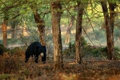 Sloth bear, Melursus ursinus, Ranthambore National Park, India. Wild Sloth bear nature habitat, wildlife photo. Dangerous black an Royalty Free Stock Photos