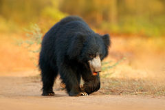 Sloth bear, Melursus ursinus, Ranthambore National Park, India. Wild Sloth bear staring directly at camera, wildlife photo. Danger Stock Images
