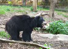 Sloth bear Royalty Free Stock Photos