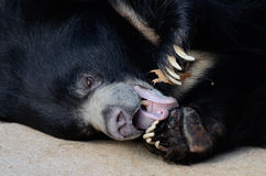 Sloth bear 2013 Royalty Free Stock Image