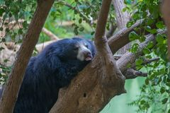 Sloth Bear rest on Tree Stock Photo