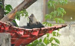 Sloth bear sleeps in hammock Royalty Free Stock Photos