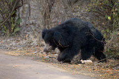 Sloth Bear Royalty Free Stock Photography