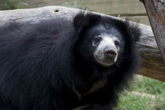 Sloth Bear too. Sloth bear sniffing the air Royalty Free Stock Photo