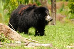 Bear (Melursus ursinus) Royalty Free Stock Photos