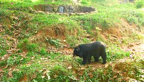 Sloth Bear wandering in Zoo, Thiruvananthapuram, Kerala, India Stock Photos