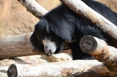 Sloth bear5 Royalty Free Stock Photo