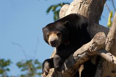Sloth bears. Sloth bear in the tree Royalty Free Stock Photos