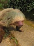 Sloth. Big sloth crawling on a curb. Closeup royalty free stock images