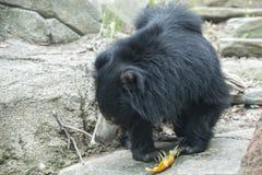Sloth black asian bear Royalty Free Stock Photos