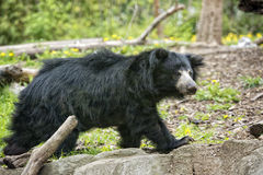 Sloth black asian bear Royalty Free Stock Photo