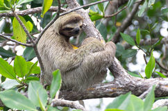 Sloth in Bocas del Toro, Panama Royalty Free Stock Images