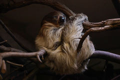 Sloth. On the branch in the zoo Stock Images