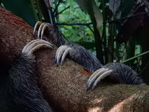 Sloth claws. Three-toed sloth claws in Costa Rica Stock Photos