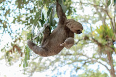 Sloth climbing tree. In nature reserve in Brazil Stock Photos