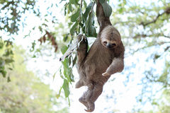 Sloth climbing tree. In nature reserve in Brazil Royalty Free Stock Photo