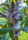 Sloth in Costa Rica Stock Image