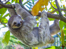 Sloth in Costa Rica. Sloth climbing a tree in costa rica rainforest Royalty Free Stock Photography