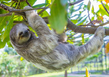 Sloth in Costa Rica. Sloth climbing a tree in costa rica rainforest Stock Photo