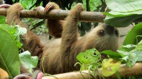 Sloth. Costarica animals jaguarrescuecenter luiaard dieren stock image