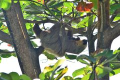 Sloth with a cub on a tree royalty free stock photos