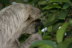 Sloth eating Stock Images