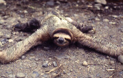Sloth Folivora or Pereza Stock Images