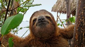 Sloth funny face. Funny face of young three toed sloth, Caribbean, Costa Rica Royalty Free Stock Image