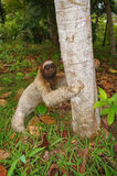 Sloth on the ground ready to climb on a tree Royalty Free Stock Photo