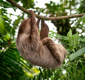Sloth Hanging. In a liana Stock Images
