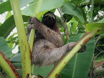 Sloth hanging from a banana tree. Three-toed sloth hanging from a banana tree, Costa Rica Royalty Free Stock Photography