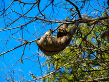 Sloth hanging from a branch. In sunny day, Santa Cruz de la Sierra, Bolivia Stock Images