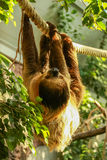 Sloth hanging. A sloth (Choloepus didactylus) is hangin on a rope Stock Images