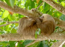Three toed sloth in Costa Rica stock photo