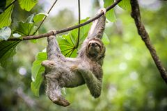 Sloth hanging out and scratching its belly. Three toed sloth hanging from a thin liana surrounded by tropical forest. Playfully scratching looking contented and stock image