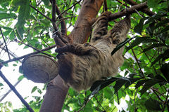 Sloth Hanging on a Tree Royalty Free Stock Photography