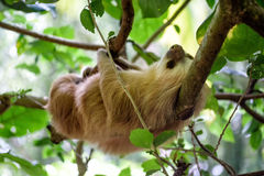 Sloth. Hanging in a tree stock images