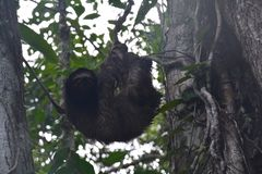 Sloth hanging in a tree in Bocas del Toro Panama. Funny and cute sloth hanging on a branch in the forest on the island of Carenero on the archipelago of Bocas royalty free stock photography