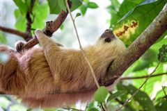 Sloth in the jungle of Costa Rica. Sloth hanging in a tree in the jungle in Costa Rica royalty free stock image